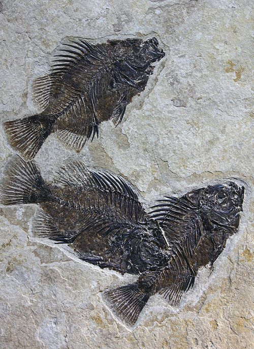 Fish fossils buried suddenly and encapsulated in stone as evidence of this catastrophe.