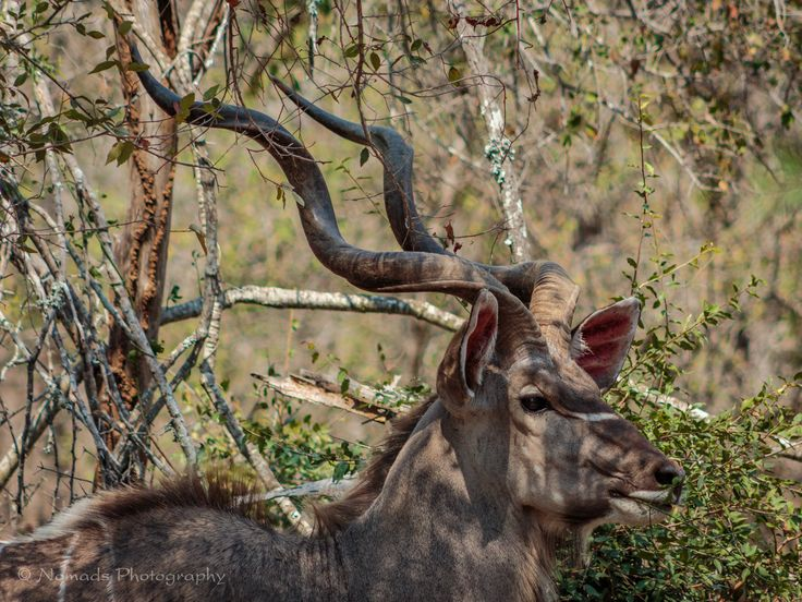 Proud - When kudu males have a face-off, they will lock their horns in a competition to determine the stronger puller; kudus' necks enlarge during the mating season for this reason. Sometimes two competing males are unable to unlock their horns and, if unable to disengage, will die of starvation or dehydration.