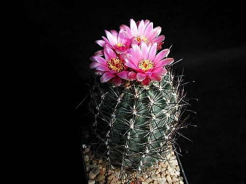 Best images about cactus flowers on pinterest utah