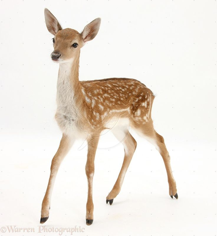 28616-Fallow-Deer-fawn-white-background.jpg (1016×1104)