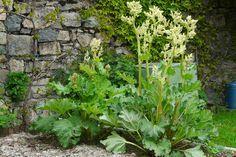 La rhubarbe: Il vous suffit de faire une infusion de feuilles de rhubarbe (150 g par litre d'eau en découpant les feuilles en lanières), feuilles qui de toute façon sont toxiques pour l'homme. Pulvérisez cette infusion pure dans le jardin et vous lutterez ainsi contre le puceron noir de la fève ou le ver du poireau.