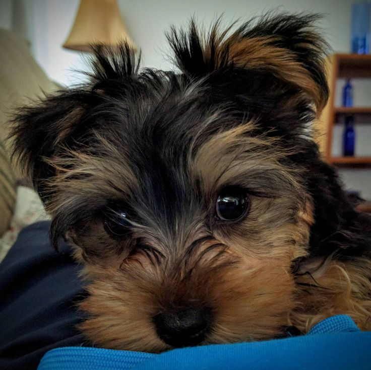Tucker just turned twelve weeks old. #teacupyorkies #dogs #smalldogs #cutedogs #puppies #cuties #yorkieterrier #mix