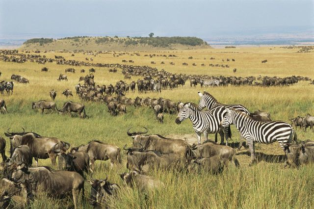 Discover how and when to experience the Great Migration, the annual procession of wildebeest and zebra across Tanzania and Kenya's most iconic parks.
