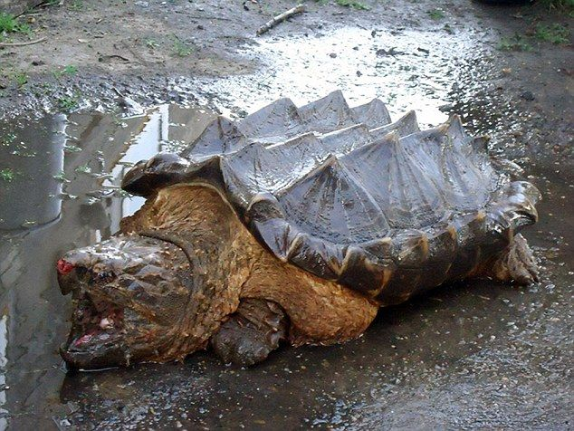 With its shell covered in spikes and its sharp beak, the creature looks more dinosaur than turtle