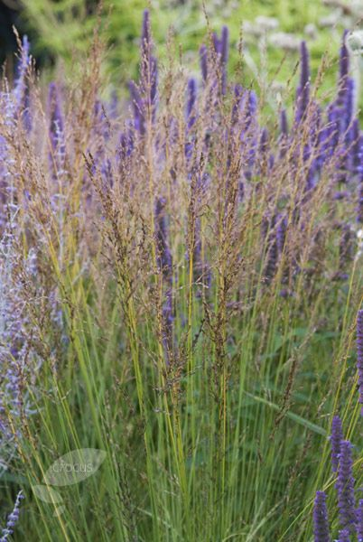 Molinia caerulea subsp arundinacea 39 poul petersen for Tall purple ornamental grass