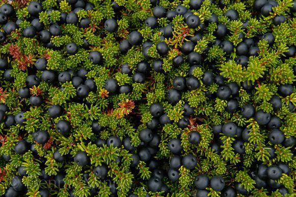 Newfoundland Blackberries -
