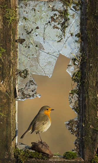 Hmmm.... in or out?? European Robin in a derelict garden shed window.