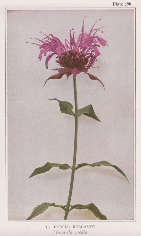 Purple Bergamot, Monarda media