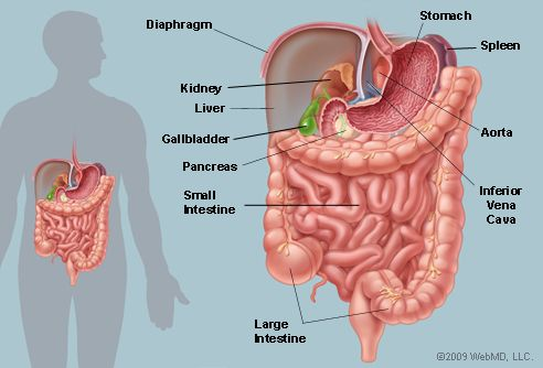 The abdomen contains all the digestive organs, including the stomach, small and large intestines, pancreas, liver, and gallbladder. These organs are held together loosely by connecting tissues (mesentery) that allow them to expand and to slide against each other. The abdomen also contains the kidneys and spleen.