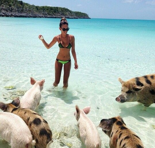 Swimming Pigs In Bahamas Adorable Pig Island W On Beach