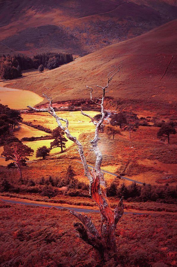 Dry Tree. Wicklow Hills. Toned by Jenny Rainbow