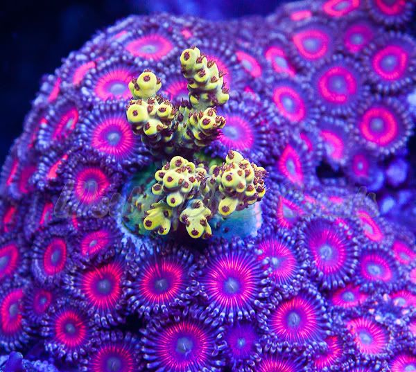 WWC Firefly Acropora in a bed of Zoanthids