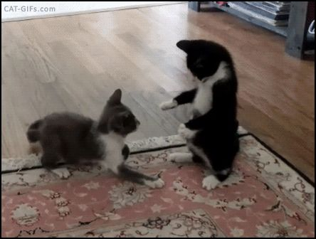 KITTEN GIF • Epic Kitten fight. Bro, you shall not pass. Kitty knocked down = funny FAIL