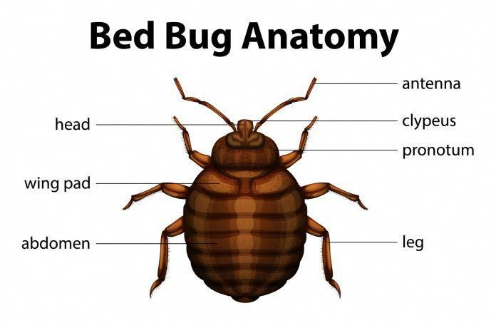 What Do Bed Bugs Look Like Homedefensepestcontrol Bed Bugs Bed