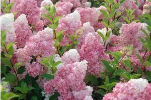 Hortensia 'vanille-fraise' 'renhy'® en ligne (hydrangea paniculata 'vanille-fraise' 'renhy'®) - Willemse