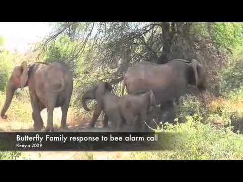 Bee alarm call elecitis response in African Elephants [Stock footage]