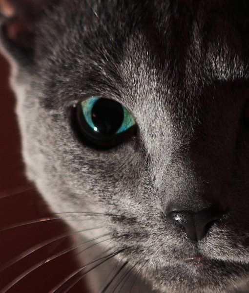 10 Russian Blue Cat Facts - Cats Tips & Advice | mom.me