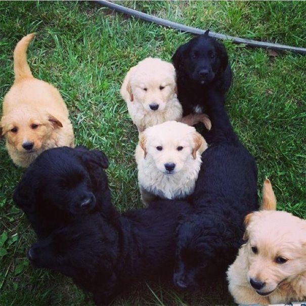 What Happens When You Mix A Golden Retriever With A Bernese Mountain Dog/golden Retriever Mix