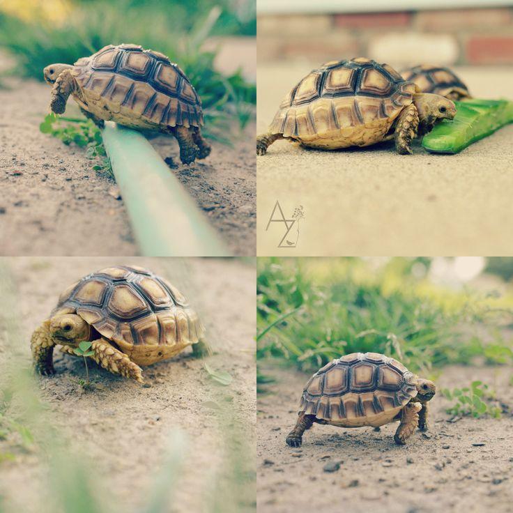 My baby African Sulcata tortoises Alexis Ziemski