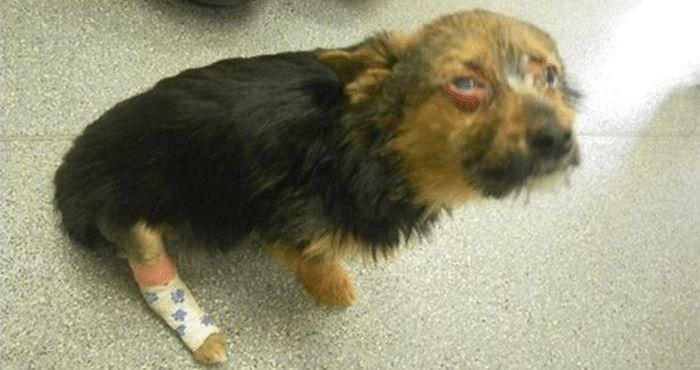 L'année dernière, Chunky, un chihuahua croisé âgé d'un an, a été retrouvé à l'agonie Après avoir été kidnappé par quatre adolescents, le pauvre toutou avait en effet subi des tortures particulièrement cruelles. Ils l'avaient battu et frappé, jusqu'à ce que les pattes de Chunky soient totalement brisées. Et puis ils ont utilisé à un aérosol …