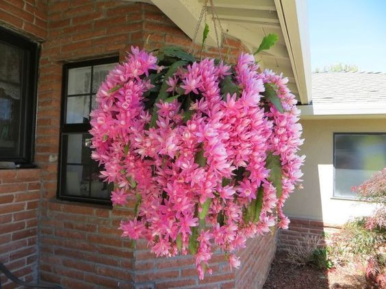 Epiphyllum orchid cactus Learn how to grow this gorgeous plant https://www.houseplant411.com/askjudy/how-to-care-for-an-epiphyllum-orchid-cactus