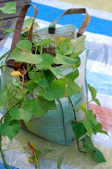 How to grow sweet potatoes in a bag: Home And Gardens, Gardens Ideas, Sweet Potatoes Plants, Clothing Bags, Grocery Bags, Totes Bags, Growing Sweet Potatoes, British Gardens, Gardens Growing