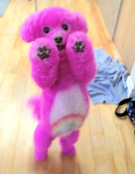 I want this dog OMG! Care Bear Poodle! Rainbow! #pink #poodle #rainbow