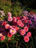 430120 - Chrysanthemum (Chrysanthemum indicum 'Cinderella')