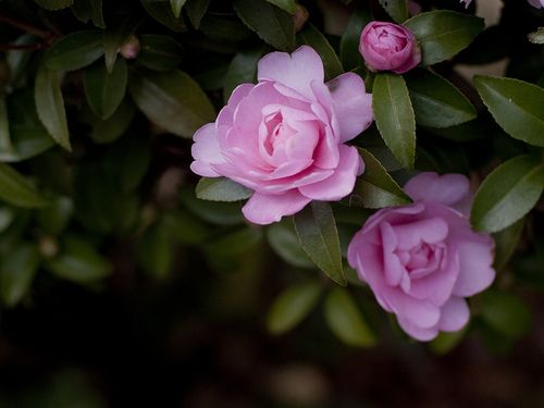 prettylittleflower: Camellia sasanqua by Polotaro on Flickr