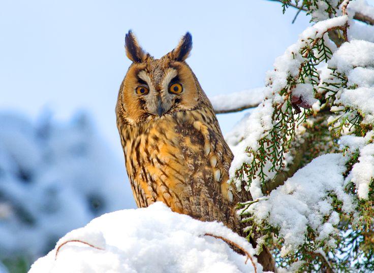 THE LONG EARED OWL DANUBE DELTA-ROMANIA