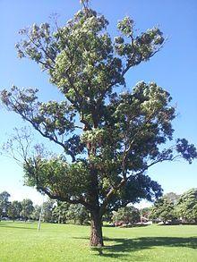 Eucalyptus robusta - Wikipedia
