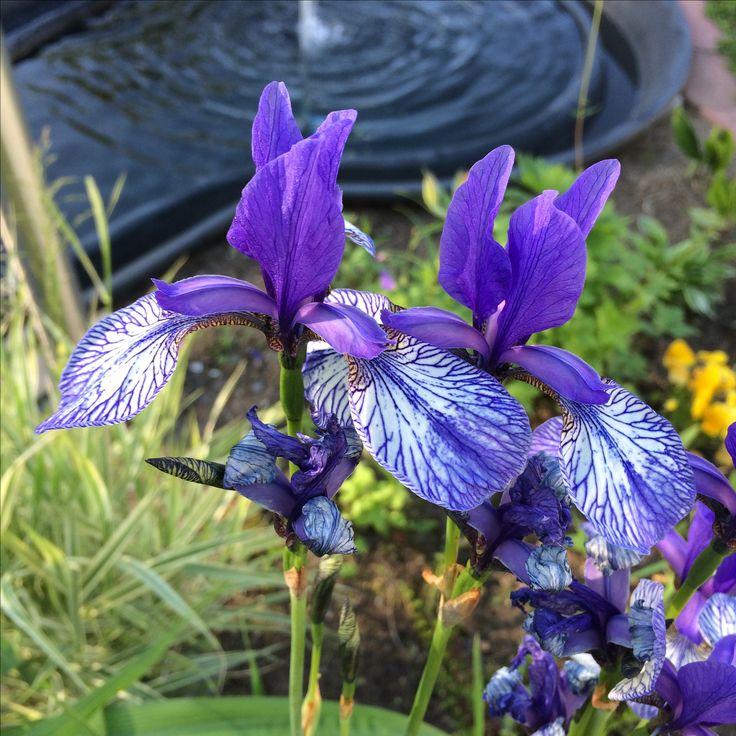 Siperiankurjenmiekka on yli metrinen. Viimekesäinen kukkapenkin räjäytys kannatti. Ai että kukkii nyt nätisti keltaisen ja violetin väreissä!