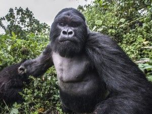 Photographer punched by 'drunk' gorilla - GrindTV.com