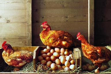 Chickens in a winter coop. - Gandee Vasan/Stone/Getty Images