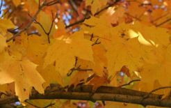 On the Hidden Colors in Leaves: What are the Functions of Those Yellow and Orange Pigments We See in the Fall? |