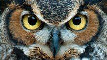 Great Horned Owl - Bird Cams - explore