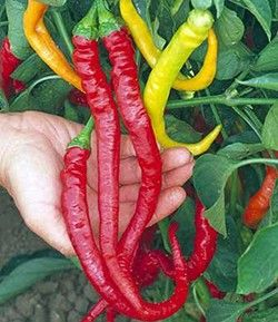 Cayenne Sweet A delicious sweet, non-pungent stir fry pepper. The peppers of the Sweet Cayenne can grow to 30 cm long! The plant is productive and bear loads of these curly peppers. The thin walled peppers are 1.5 cm in diameter and turn from green to red.