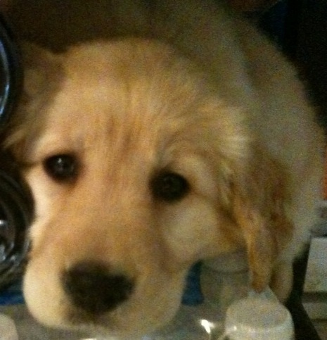My 9 week old new puppy, Sofie, a female Golden Retriever born in January of this year.