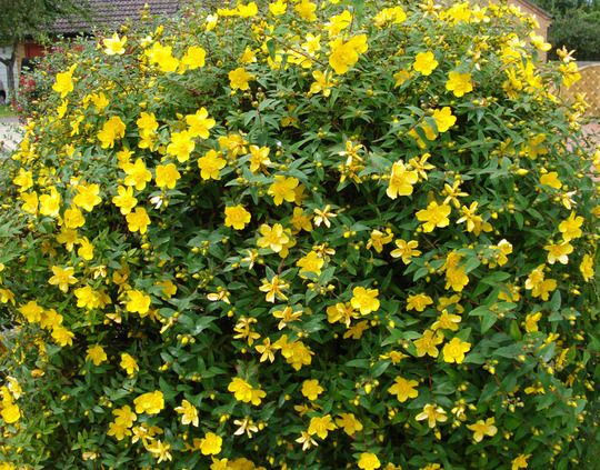 221 best tiptoe through the tulips images on pinterest landscaping back garden hypericum hidcote st johns wort yellow flowering shrub blooms summer mightylinksfo