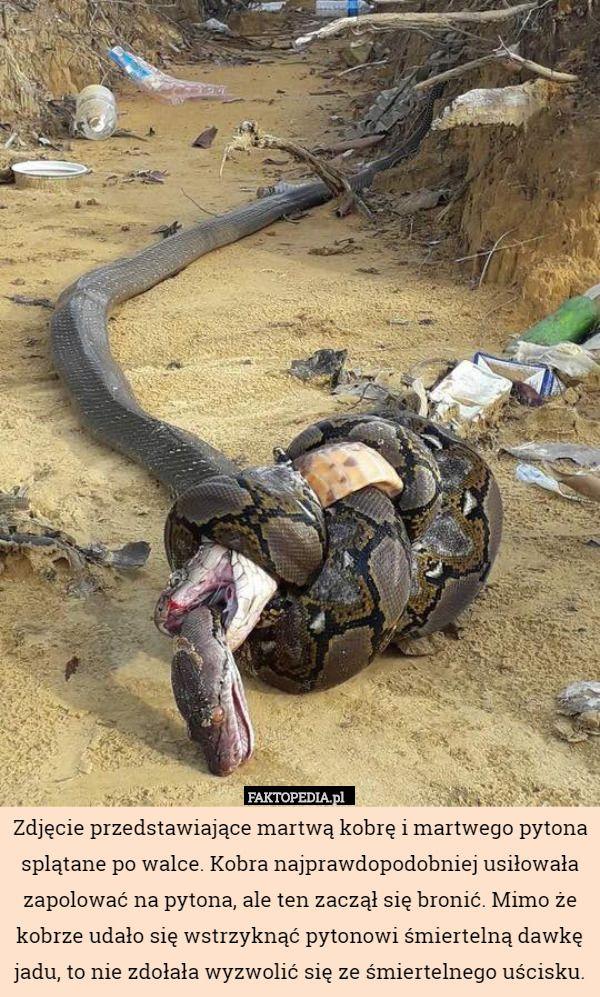 Zdjęcie przedstawiające martwą kobrę i martwego pytona splątane po walce.