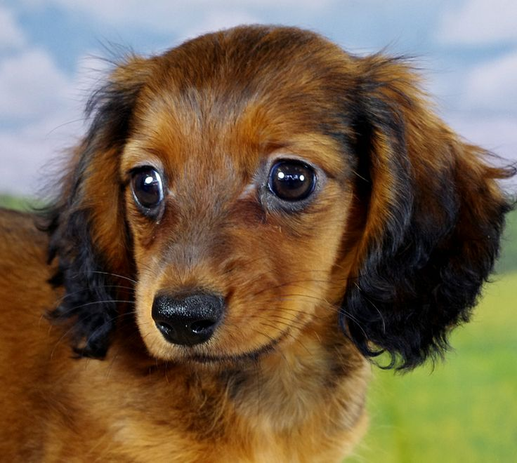 Long Haired Dachshund Puppies Nc 2021
