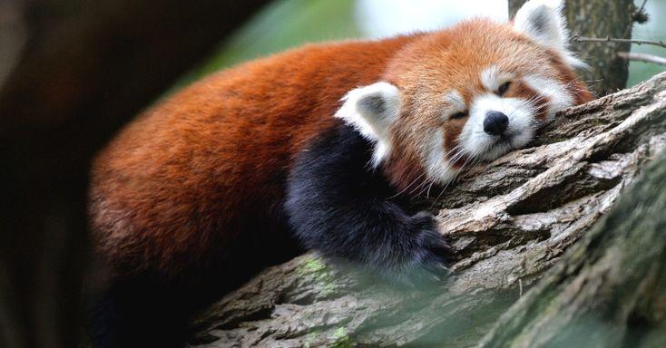 Ele não é um Urso, nem um Panda Gigante e muito menos um Guaxinim.O Panda Vermelho, também chamado de Raposa de Fogo e Gato de Fogo, é um mamífero de porte pequeno que vive nas árvores.  Habita regiões de montanha da China e do Himalaia. Suas principais características são a cor avermelhada, cauda grossa e comprida e membros dianteiros menores do que os traseiros. Macho e fêmea possuem o mesmo tamanho. Vivem principalmente em florestas temperadas, entre 2.000 e 5.000 metros de altitude.  Na…