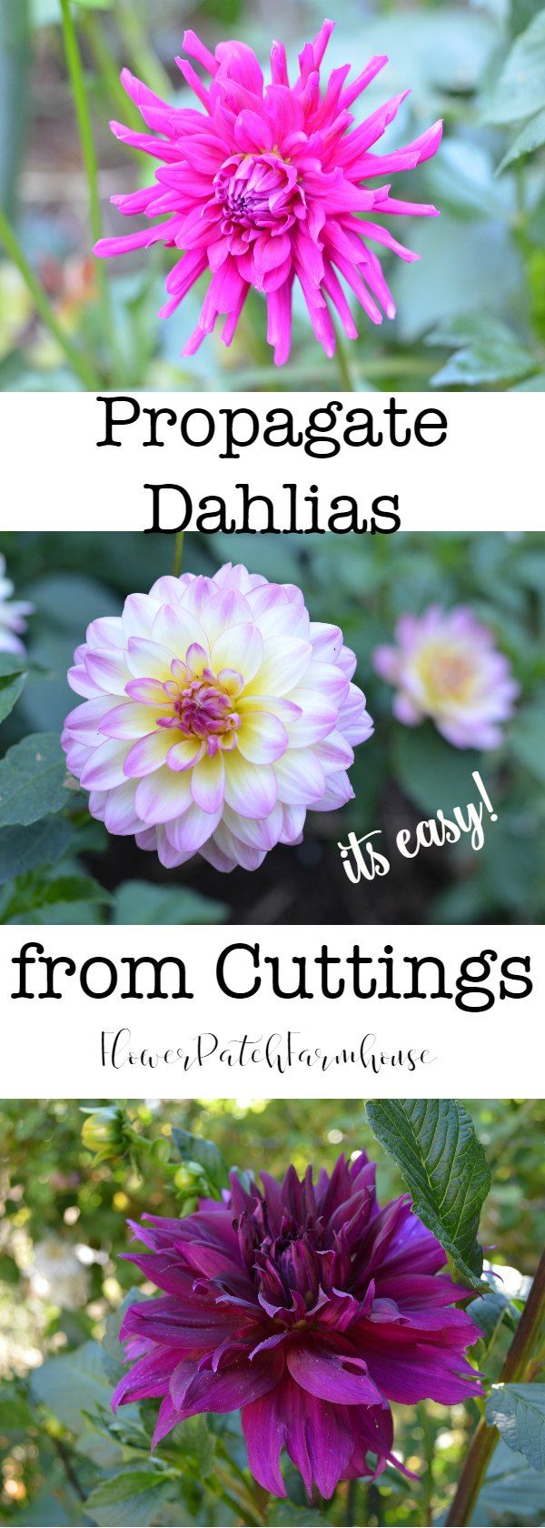 Propagate Dahlias from Cuttings.  This is so easy and you can get tons more dahlias and still get plenty of blooms from the mother plant.  I find it easier than dividing the tubers but you can do that too.   via @FlowerpatchPam