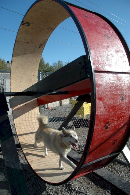 Google Image Result for http://www.sleddogcentral.com/fun_photos/kelly_jo_wheel.jpg