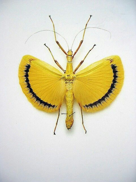 Yellow Fan Stick Insect