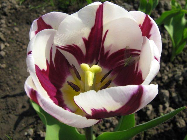 тюльпаны Zurel.