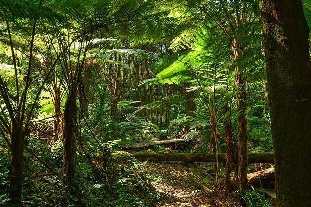 Ferns, Tree Ferns, Australia, Sydney, Rainforest