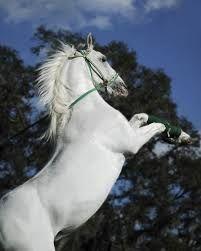 Αποτέλεσμα εικόνας για αλογα πιντο
