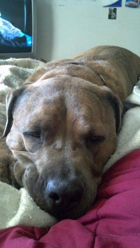 Pitbull mastiff mix. Best dog ever<3