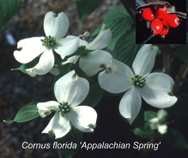Cornus florida 'Appalachian Spring'  In screening for resistance to dogwood anthracnose, a destructive disease of C.florida,'Appalachian Spring' was the only survivor! Four seasons of interest: prolific white flowers, large green leaves that turn bright red in autumn and abundant bright red fruit. H: 15-20 ft · W: 15-20 ft